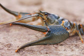 Crawfish close-up — Stock Photo