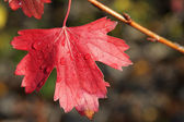 Red autumn leaf of currant — Stock Photo