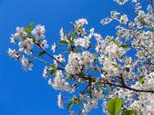 Flores de primavera blanco — Foto de Stock