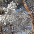 Snow-covered pine twigs — Stock Photo #1772339
