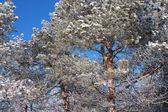Sneeuw bedekte pine twijgen — Stockfoto