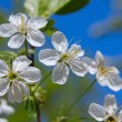 White spring flowers — Foto Stock