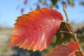 Autumn red leaf — Stock Photo