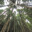 Forest trees  with wide angle lens - Stock Photo