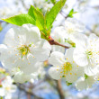 Close-up cherry flowers — Stock Photo