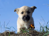 Puppy dog smelling flower 5 — Stock Photo