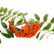 Ashberries - Stock Photo