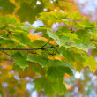 Autumnal maple leaves - Foto Stock