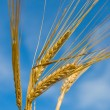Barley spikelets — Stock Photo