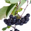 Black ashberries isolated — Stock Photo #1695274