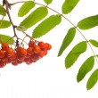 Close-up ashberries - Stock Photo