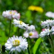 Close-up daisy field — Stock Photo