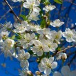 Close-up flourish cherry branch — Stockfoto