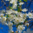 Close-up flourish cherry branch — Stock fotografie