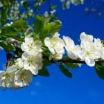 Close-up flourish cherry on blue sky — Stock Photo