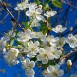 Close-up flourish cherry — Stock Photo