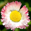 Close-up single daisy — Stock Photo