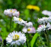 Close-up daisy field — Stock Photo