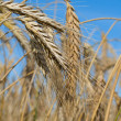 Close-up wheat — Stock Photo