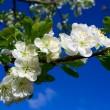 Flourish cherry on blue sky — Stock Photo