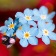 Royalty-Free Stock Photo: Forget-me-not