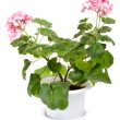 Geranium in pot — Foto Stock