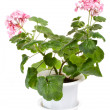 Stock Photo: Geranium in pot