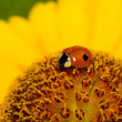Ladybug in yellow flower - Stock Photo