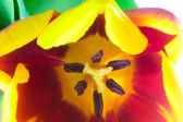 Close-up tulip — Stock Photo