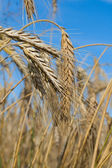 Close-up wheat — Stock Photo