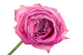 Close-up wilting rose — Stock Photo