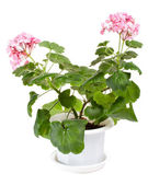 Geranium in pot — Stock Photo