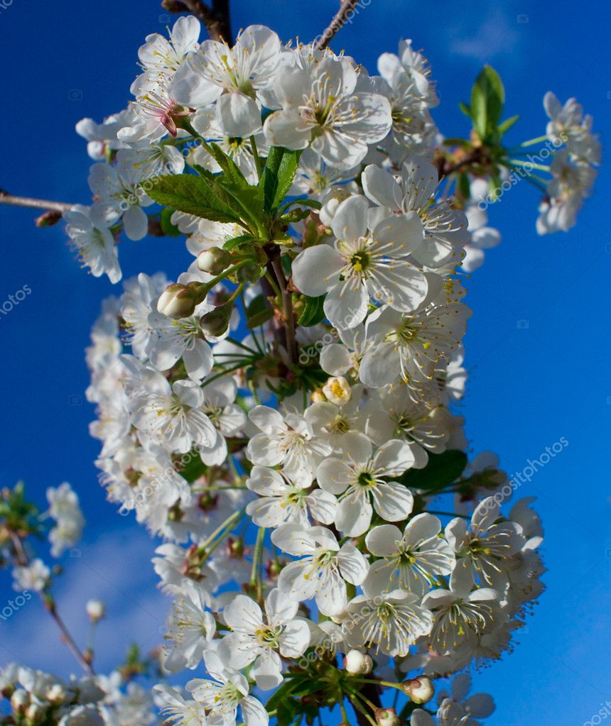 Flourish cherry brunch, on blue sky background  Stock Photo #1713660