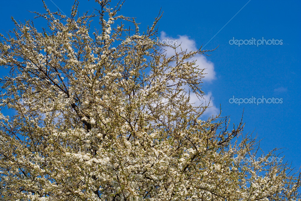 Flourish cherry tree in april, spring time — Stock Photo #1713701