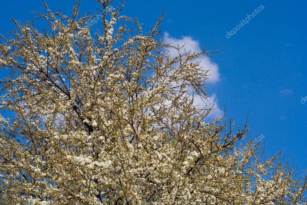 在4 月的春天蓬勃发展樱桃树– 图库图片