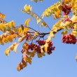 Royalty-Free Stock Photo: Rowan on blue sky 1
