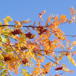 Rowan on blue sky 2 — Stock Photo