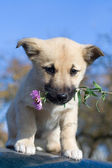 Puppy dog hold flower in mouth 3 — Stock Photo