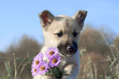 Puppy dog hold flowers in forefoots — Stock Photo
