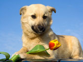 Puppy dog take tulip in forefoots — Stock Photo
