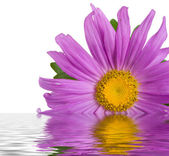 Purple aster in water — Stock Photo