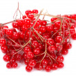 Snowball tree berries — Stock Photo