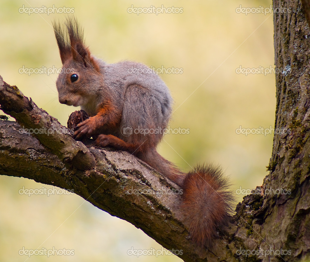 Close-up ginger squirrel eating on tree  — Stock Photo #1732472