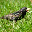 Starling on grass — Stock Photo