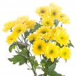 Yellow chrysanthemum bouquet — Stock Photo