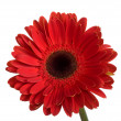 Beautiful big red gerbera flower - Stock Photo