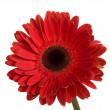 vacker stor röd gerbera blomma — Stockfoto