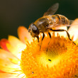 Bee on flower collects nectar - Stock Photo