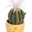 Blossoming cactus with white flower — Stock Photo