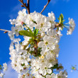Blossoming cherry in april — Stock Photo